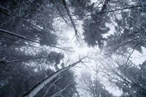 Обои Деревья Вид снизу Снег Ветвь Природа