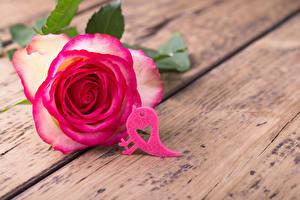 Фотография День всех влюблённых Розы Птицы Крупным планом Доски Розовый Сердечко Цветы
