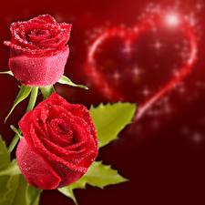 Фотография День святого Валентина Розы Двое Красных Сердечко Капли Красный фон Цветы