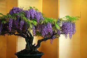 Обои Глициния Деревья bonsai Цветы фото