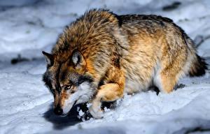 Обои Волки Крупным планом Снег Животные фото