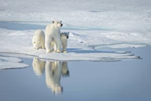 Обои Медведи Белые Медведи Вода Трое 3 Снег Отражение Животные