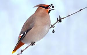 Фотография Птицы Вблизи Ветвь Bohemian waxwing Животные