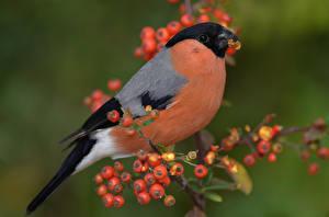 Фотография Птицы Крупным планом Снегирь Животные