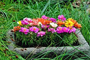 Обои Календула Цветы картинки