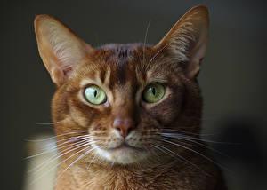 Фотографии Кот Крупным планом Взгляд Морда Усы Вибриссы Головы Abyssinian cat Животные