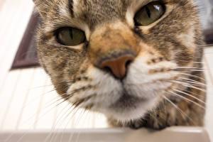 Картинка Кошки Макро Глаза Крупным планом Морда Смотрит Животные