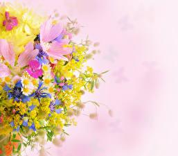Картинка Космея Мимозы Ромашки Цветной фон Цветы