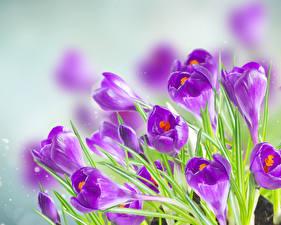 Фото Крокусы Крупным планом Фиолетовый Цветы