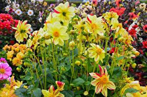 Картинка Георгины Крупным планом Желтый Цветы