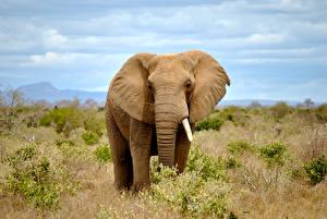 Фотографии Слоны Клыки Животные