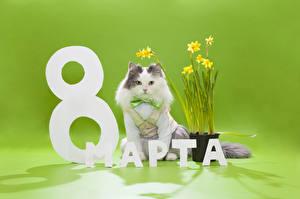 Фотография Праздники 8 марта Кот Нарциссы Цветной фон Русские Бантик животное