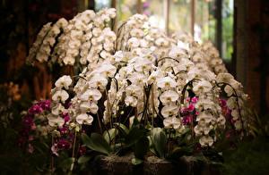 Фото Орхидеи Много Цветы