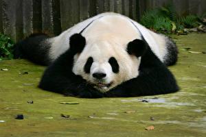 Обои Панды Медведи Спит Животные картинки