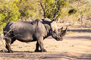 Обои Носороги Сбоку Животные