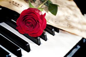 Фотографии Розы Крупным планом Красный Цветы