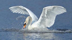 Фотография Лебеди Птицы Вода Крылья Животные