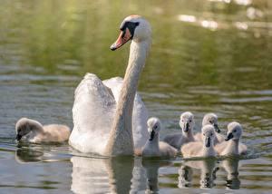 Фотография Лебедь Вода Белых Плывут Животные