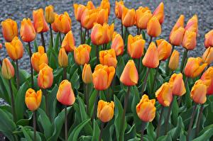 Фотографии Тюльпаны Крупным планом Оранжевый Цветы
