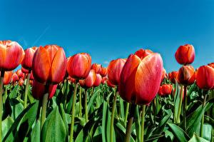 Фотография Тюльпаны Поля Крупным планом Красный Цветы