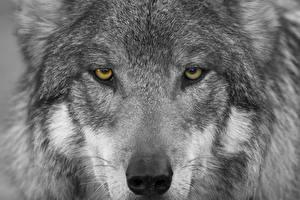 Обои Волки Крупным планом Морда Взгляд Животные