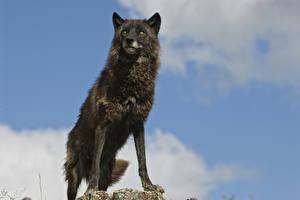 Обои Волки Взгляд Животные картинки