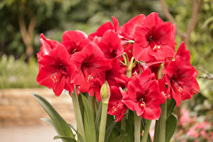 Картинки Амариллис Крупным планом Красные цветок