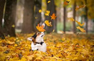 Фотографии Осенние Собаки Лист Вельш-корги Животные