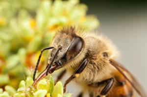 Фотография Пчелы Макросъёмка Вблизи Насекомые