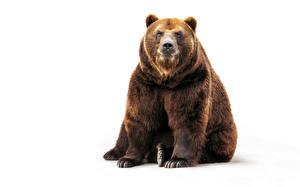Обои Медведи Гризли Белый фон
