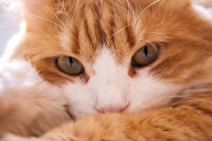 Фото Кошки Крупным планом Макро Глаза Рыжий Взгляд Морда Животные