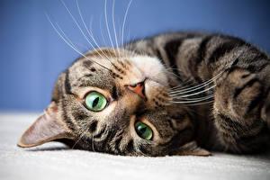 Картинки Кошка Смотрят Усы Вибриссы Морда Животные