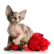 Фотографии Кошки Розы Белый фон Взгляд Животные