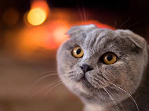 Фото Кошки Скоттиш-фолд Взгляд Серый Морда Животные