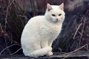 Картинки Кошки Белый Взгляд Животные