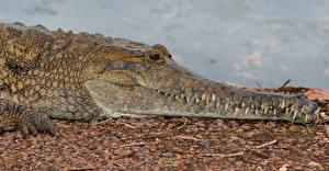 Фотография Крокодил Морда Животные