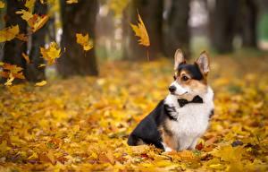 Фото Собака Осень Вельш-корги Листья Животные
