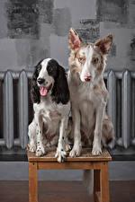 Фотографии Собаки Двое Бордер-колли Спаниель Язык (анатомия) Взгляд Животные