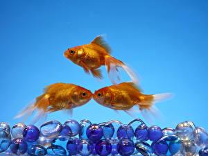 Фотография Рыбы Цветной фон Трое 3 Золотой Животные