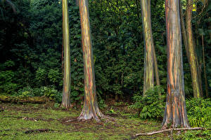Фото Леса Гавайи Ствол дерева Природа