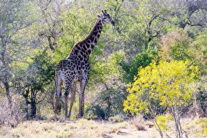 Картинки Жирафы Деревья