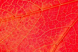 Картинки Макро Красный Листья Природа