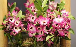Обои Орхидеи Крупным планом