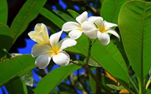 Картинка Плюмерия Ветки Белый Листья Цветы