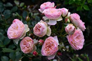 Фотография Розы Вблизи Розовый Бутон