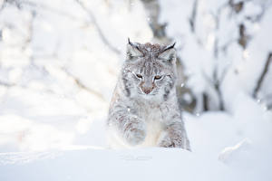 Фотография Ирбис Снег Cecilie Sonsteby