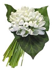 Фото Подснежники Крупным планом Белый фон Листья Цветы
