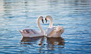 Фотографии Лебеди Вода Двое