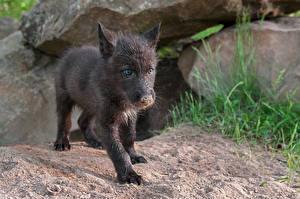 Картинка Волки Детеныши Взгляд Черный Животные