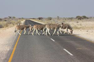 Картинки Зебры Дороги Африка Асфальт Животные